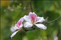 Trở về miền hoa ban nở