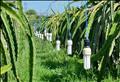 Agribank cung cấp vốn để Bình Thuận sử dụng điện mặt trời sản xuất thanh long